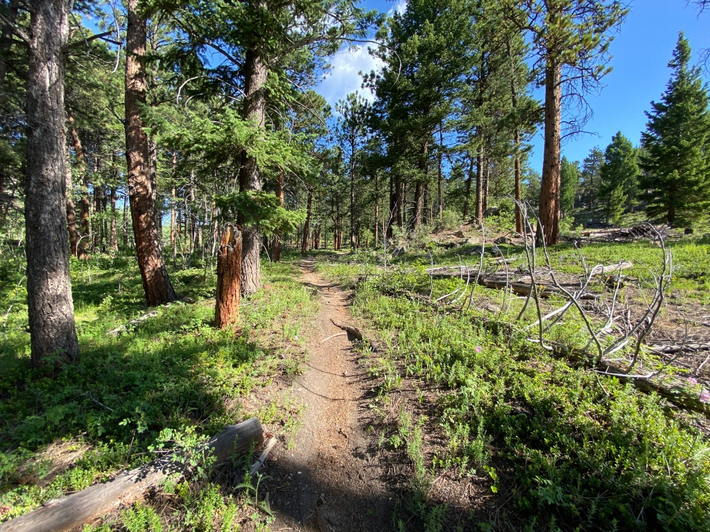 Heavily wooded hiking trail with pine trees