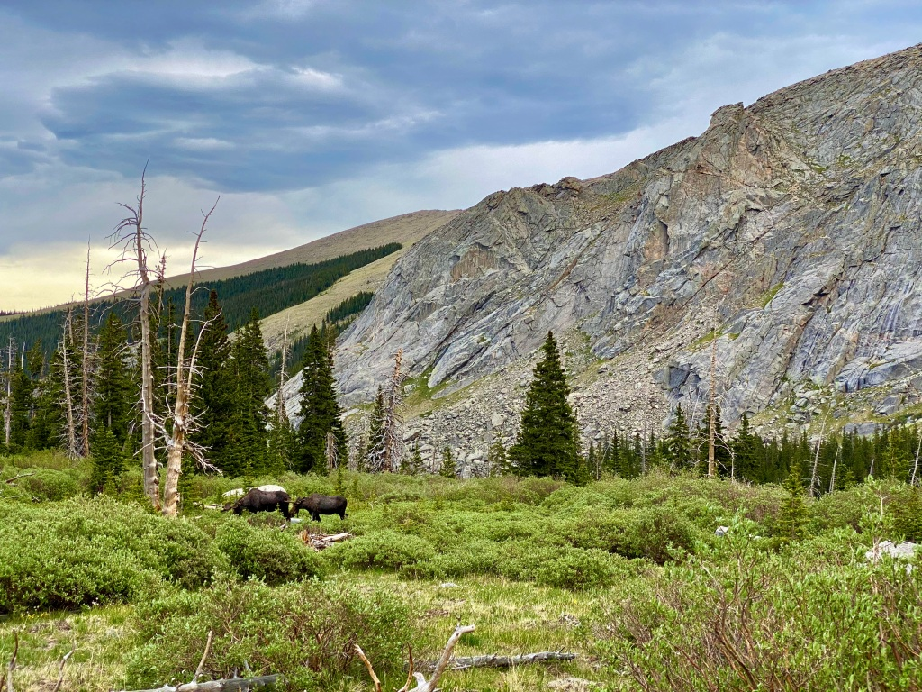 Two moose grazing in a mountain meadow with cliffs behind