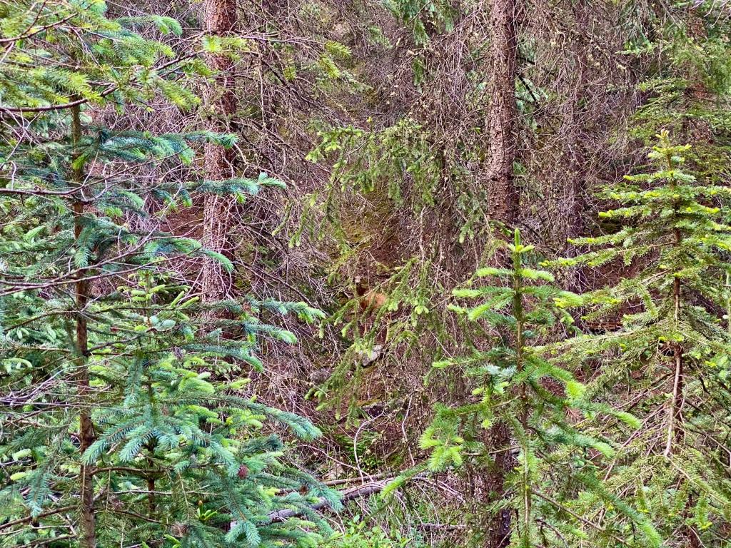 Deer peering through the trees back at me