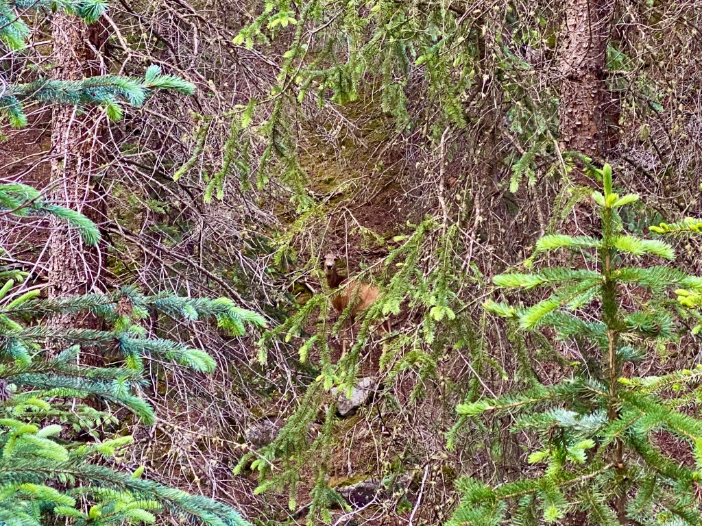 Closer view of the deer staring back at me through the trees