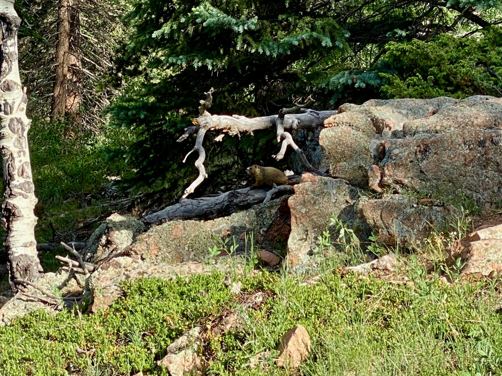 Marmot sitting on a rock along the trail