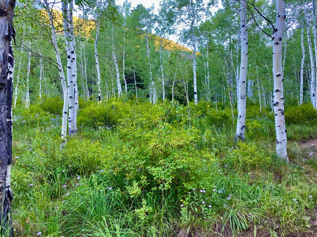 Grove of aspen trees with greenery