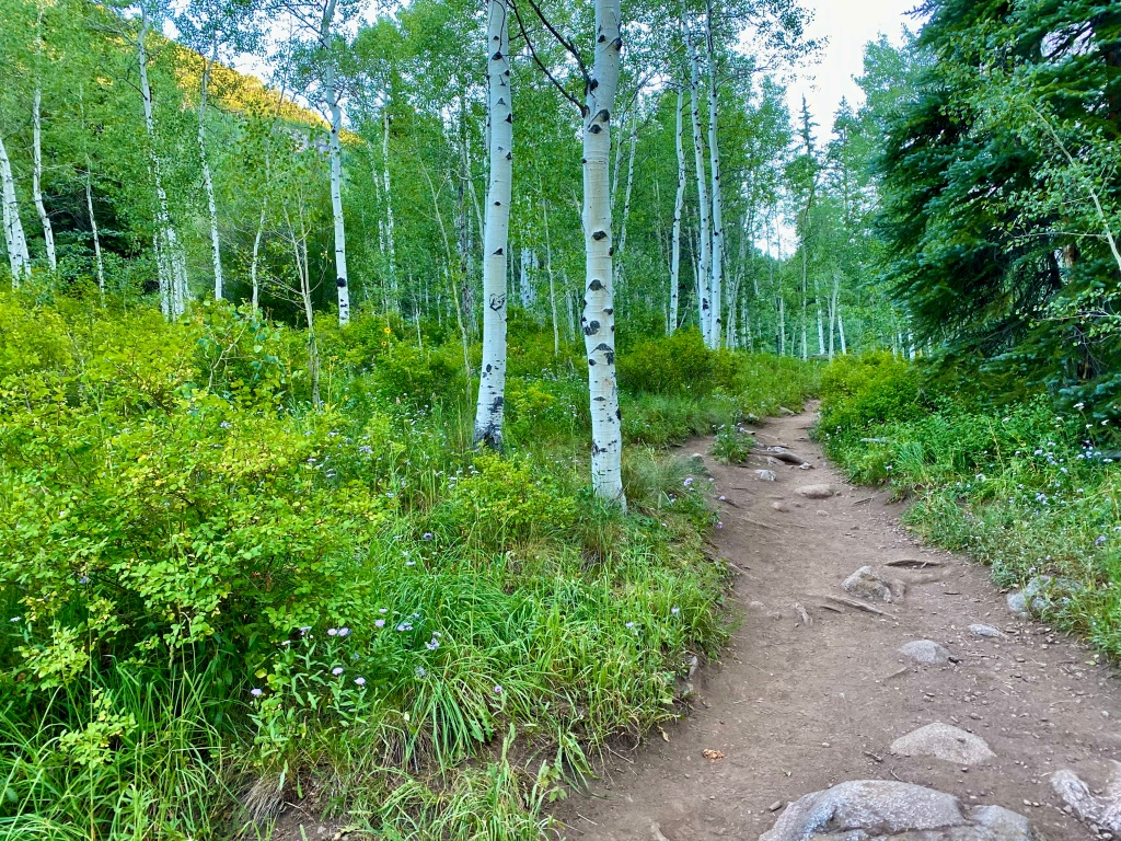 Trail winding its way through aspen trees