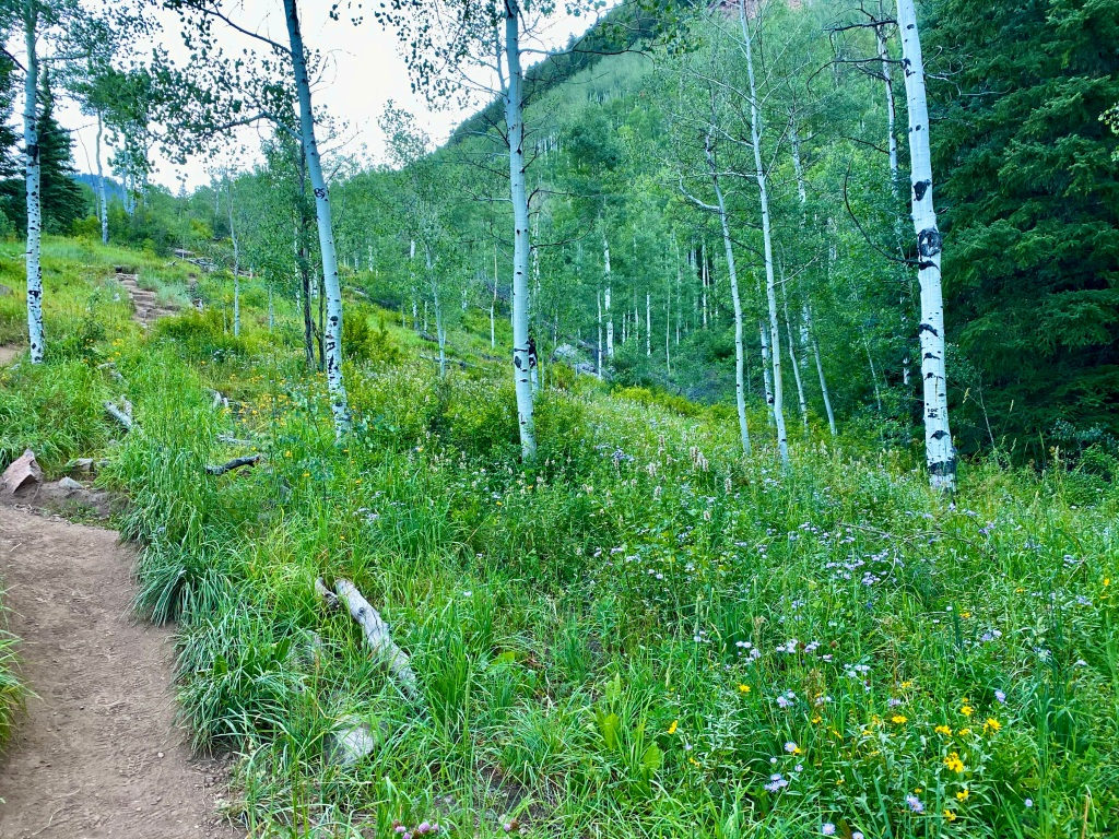 Aspen trees with trail on left